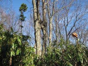 Bear Heaven Trees