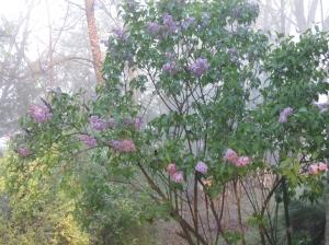 Lilac, April 2009