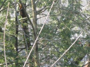 Pileated woodpecker hiding