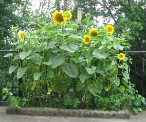 Sunflowers 29 June 2013