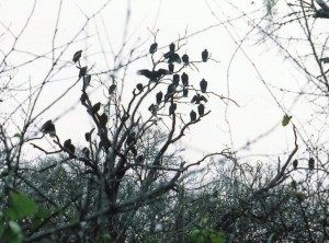 Vultures in a Tree, Texas, 2008