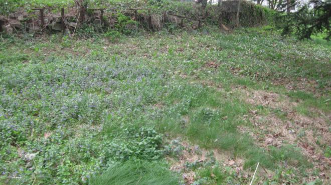 White Violets and Ground Ivy