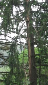 Stricken Spruce