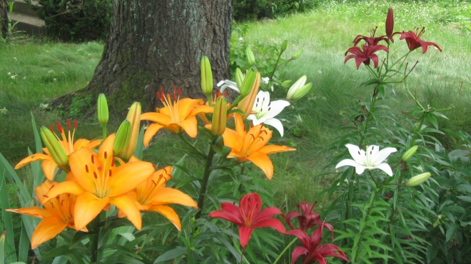 Lilies by the front gate