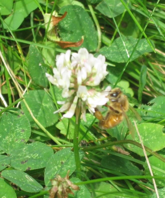 Honeybee in White Clover