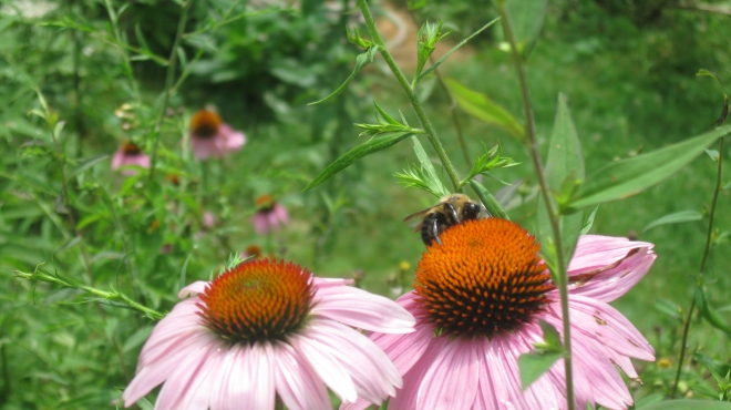 Bumblebee Amongst the Coneflowers