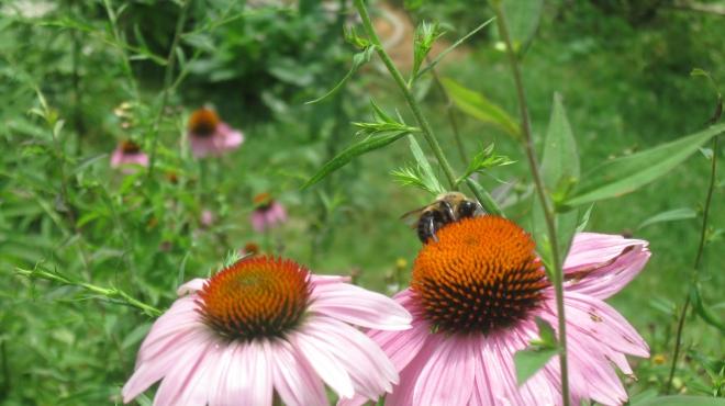 Bumblebee Amongst the Coneflowers