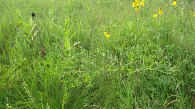 Nachusa plants