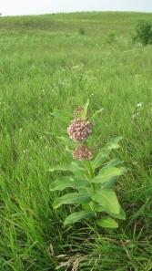 Common milkweed (Asclepias syriaca) at Nachusa