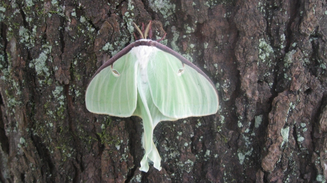 Luna moth, partly open