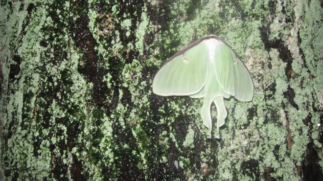 Luna moth on lichen