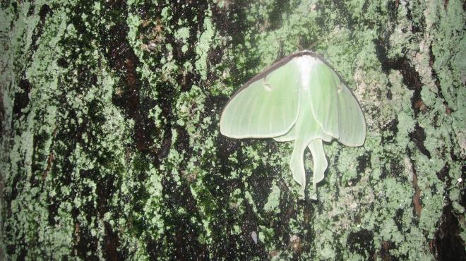 Luna moth on lichen