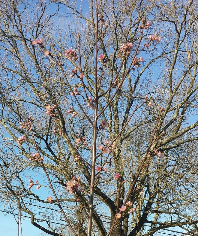 Peach blossoms in April