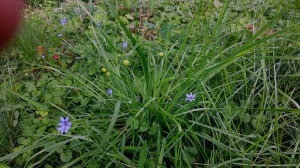 Blue-eyed grass (Sisyrinchium sp.)