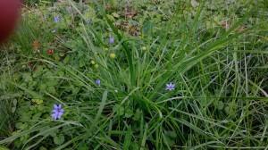 Blue-eyed grass (Sisyrinchium sp.)