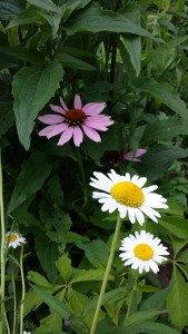 Purple coneflower with daisies