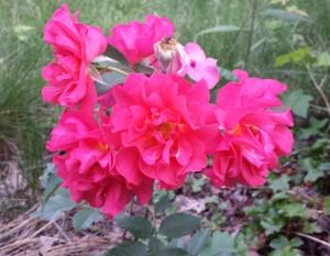 Cinco de Mayo roses