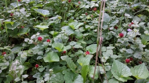 False strawberry (Duchesnea indica)