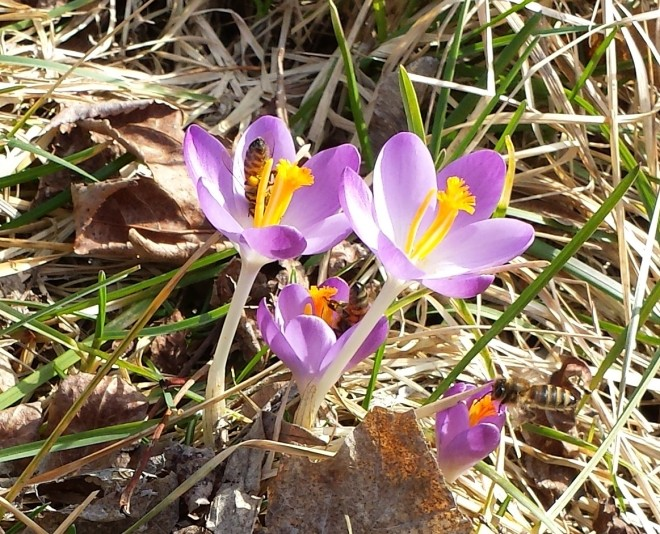 Honey bees and blue crocuses