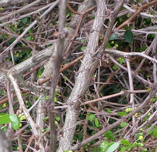 Barberry thorns