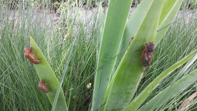 Cicadas in the lawn