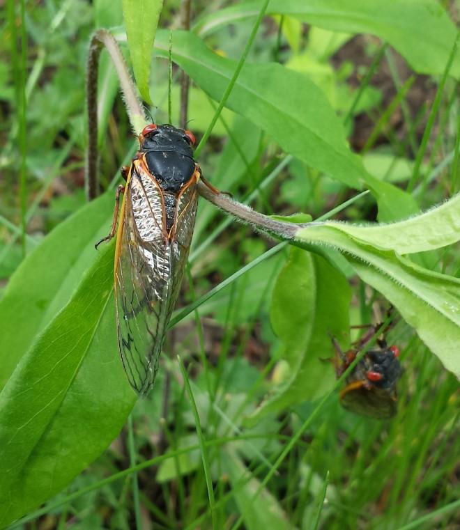 Two cicadas