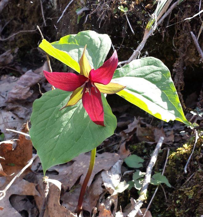 Red trillium (Wake Robin)