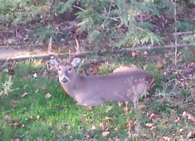 The Buck in the Yard