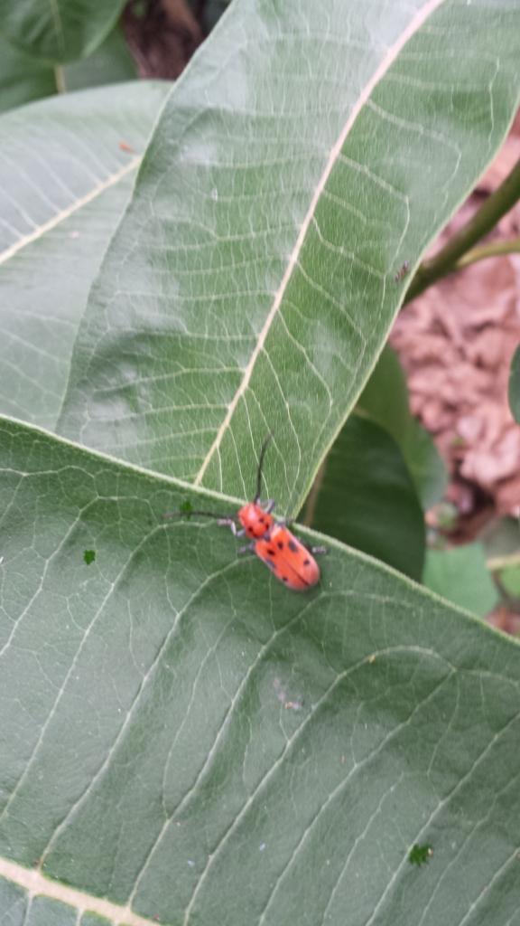 Red Milkweed Beetle (Tetraopes tetrophthalmus)