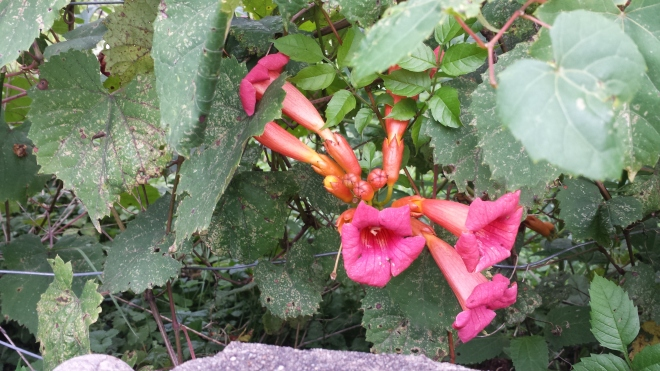 Trumpet vine in flower