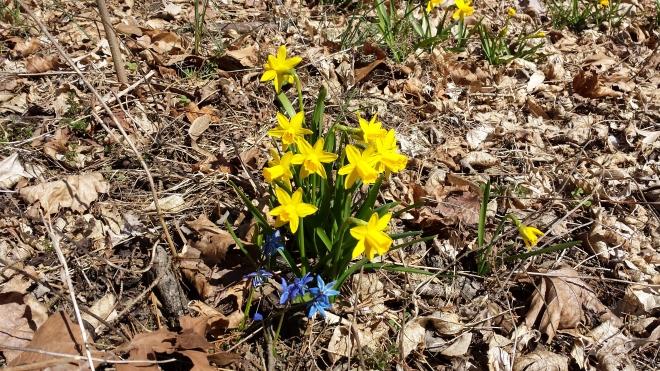 Dwarf yellow daffodils and blue scilla