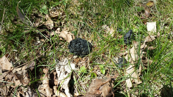 Whitetail deer scat in the grass