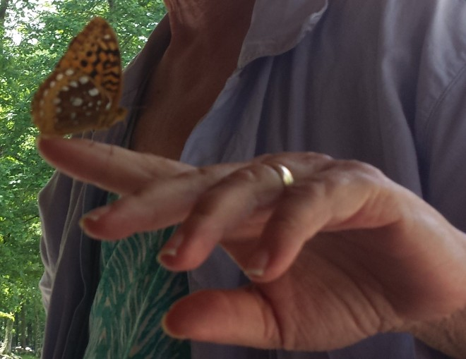 Great spangled fritillary (Speyeria cybele) showing wing underside