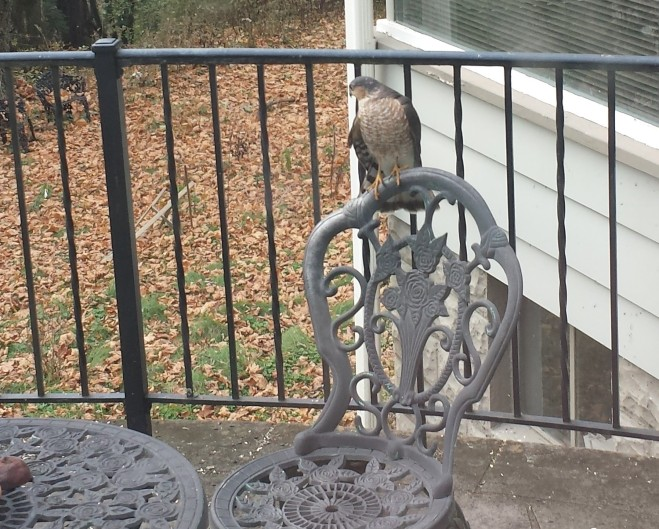 Sharp-shinned hawk at the table