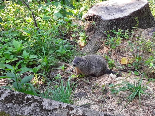 Furry brown animal, a young Groundhog (Marmota monax),  among green plants next to a tree stump beyond a low wall
